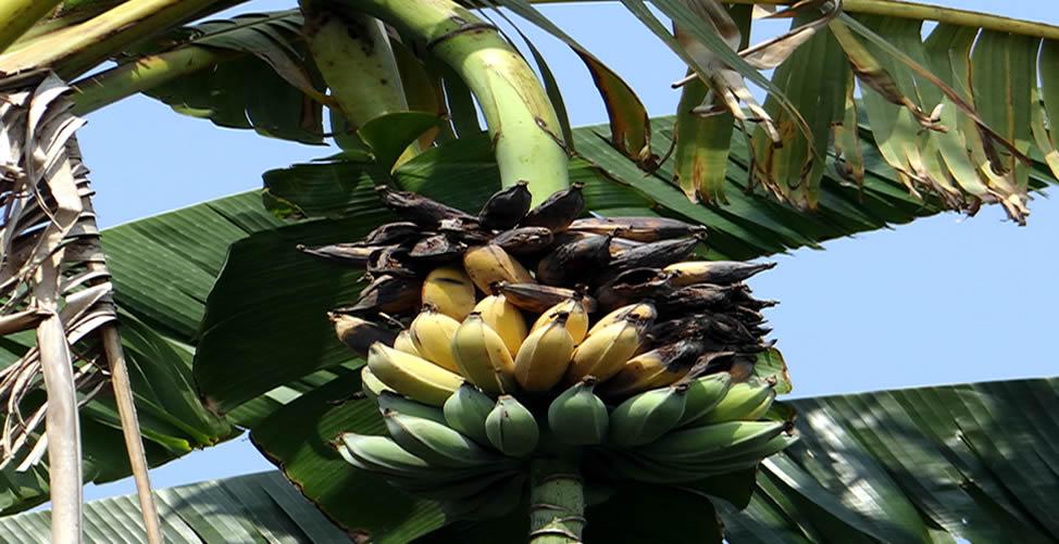 Significado de Sonhar com Banana Podre