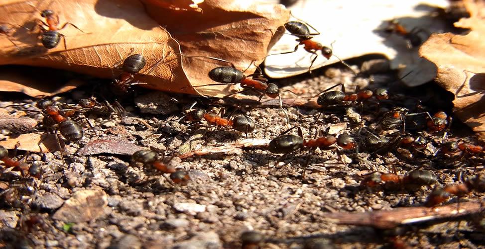Sonhar Com Infestação de Formiga