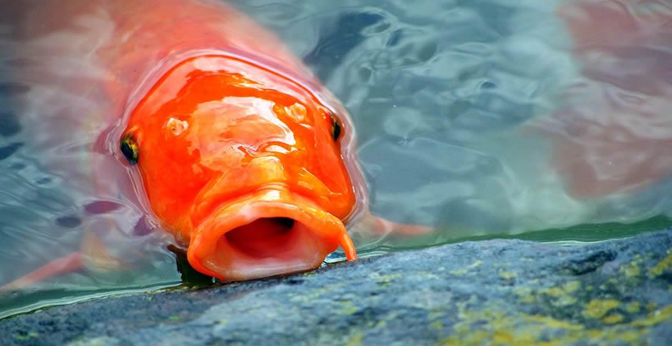 Sonhar com Pesca de peixe vermelho