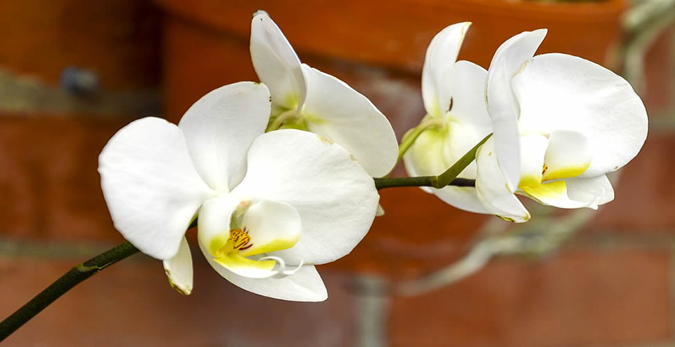 Sonhar Com Orquídea Branca