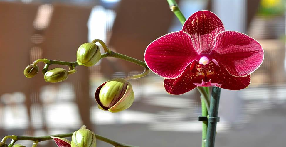 Sonhar Com Orquídea Vermelha