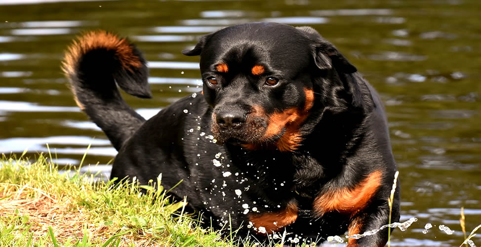 Sonhar Com Cachorro Grande