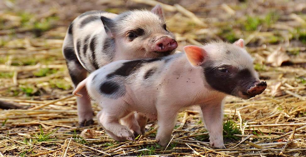 Sonhar Com Porco Filhote