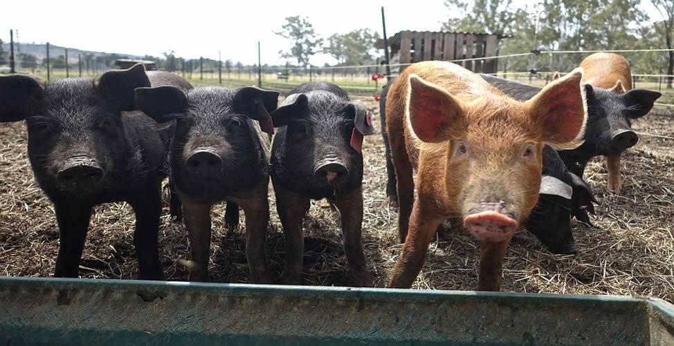 Sonhar Com Porco - Muitos