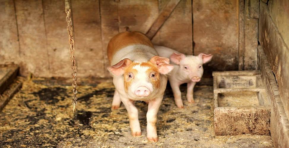 Sonhar Com Porco