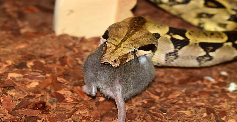 Sonhar com Rato e Cobra