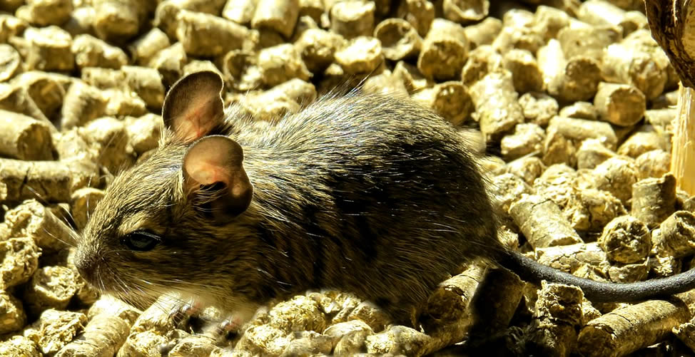 Sonhar com Rato que corre