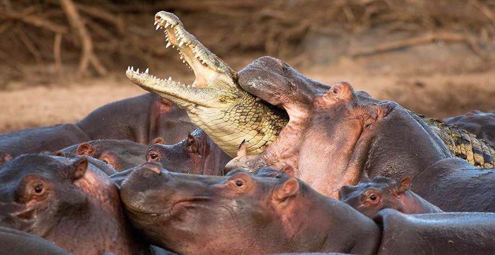 Sonhar Com Hipopótamo Atacando