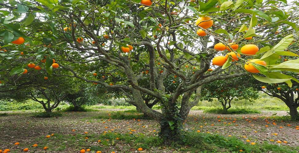 Sonhar Com Plantação de Frutas