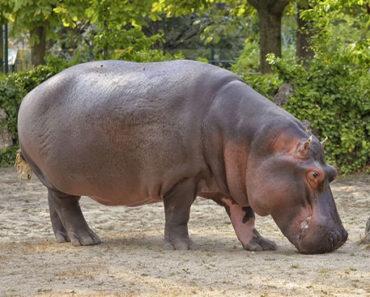 Sonhar-com-Hipopótamo