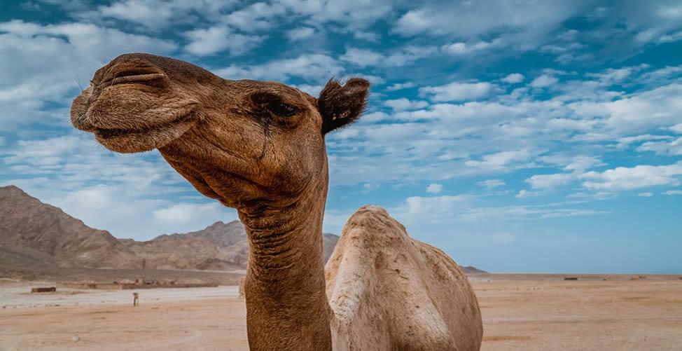 Significado de Sonhar Com Camelo