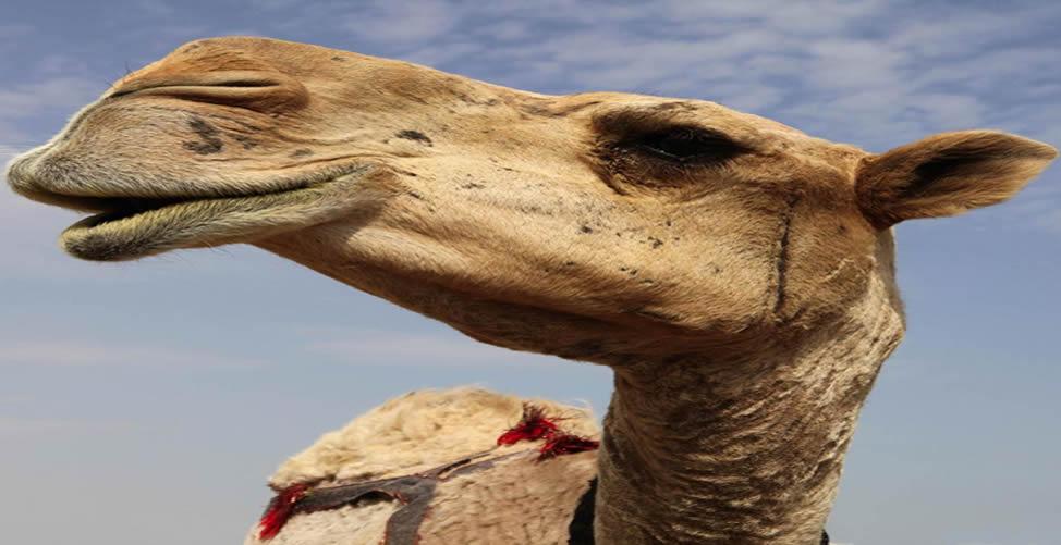Sonhar Com Camelo Ferido