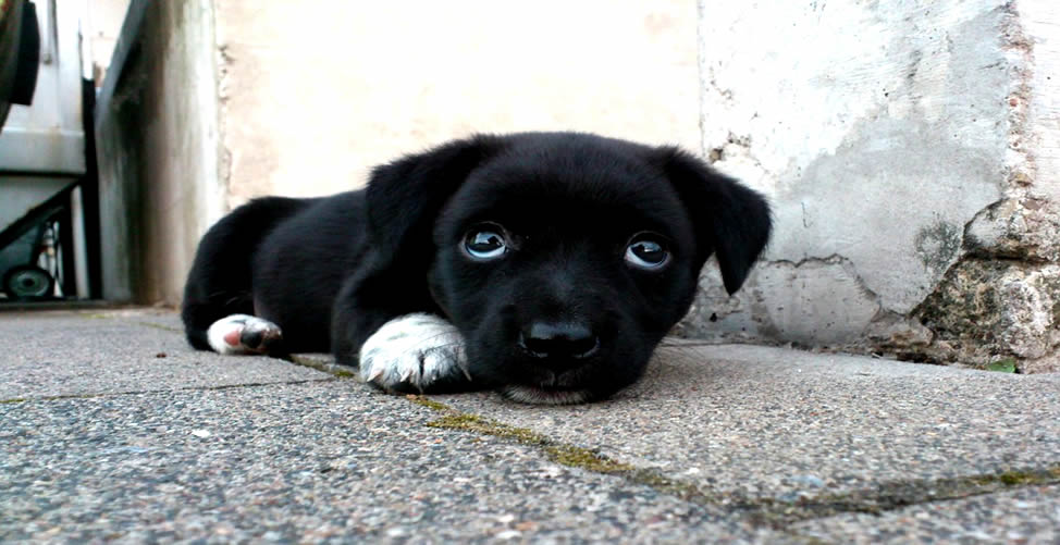 Sonhar Com Cachorro Preto Filhote