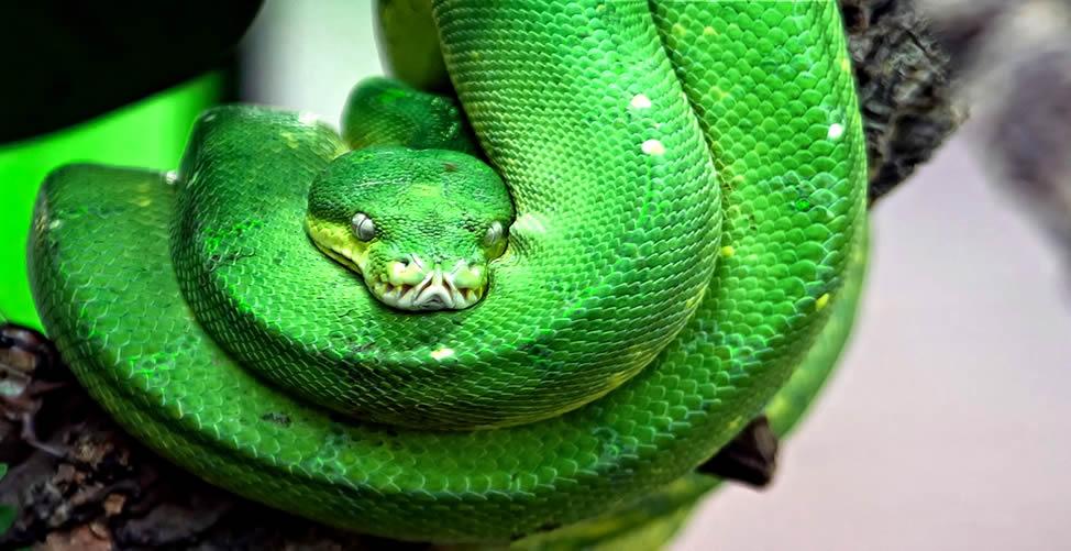 Sonhar Com Cobra Verde Gigante
