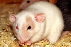 Sonhar-Com-Rato-Branco