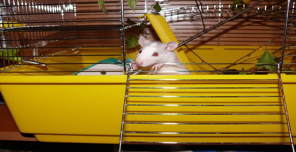 Sonhar Com Rato Branco Engaiolado