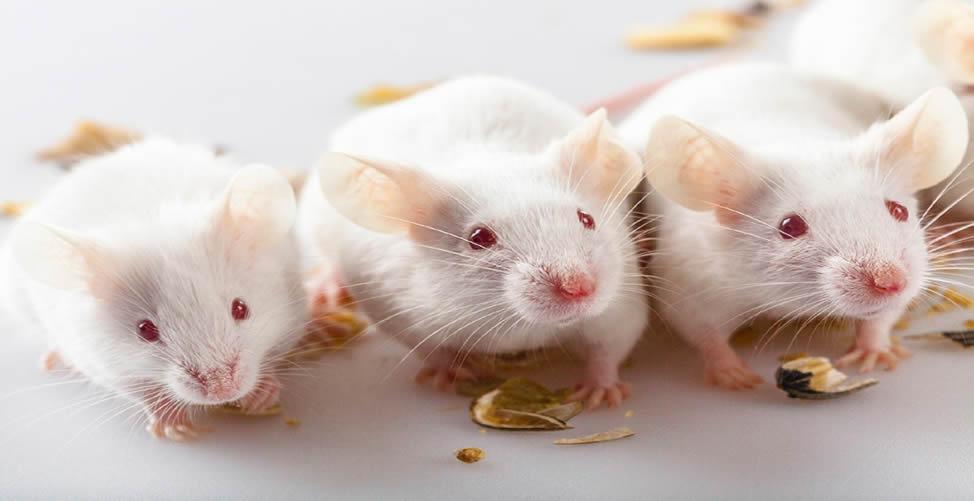 Sonhar Com Rato Branco - Muitos