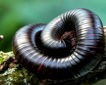 Sonhar-com-Piolho-de-Cobra
