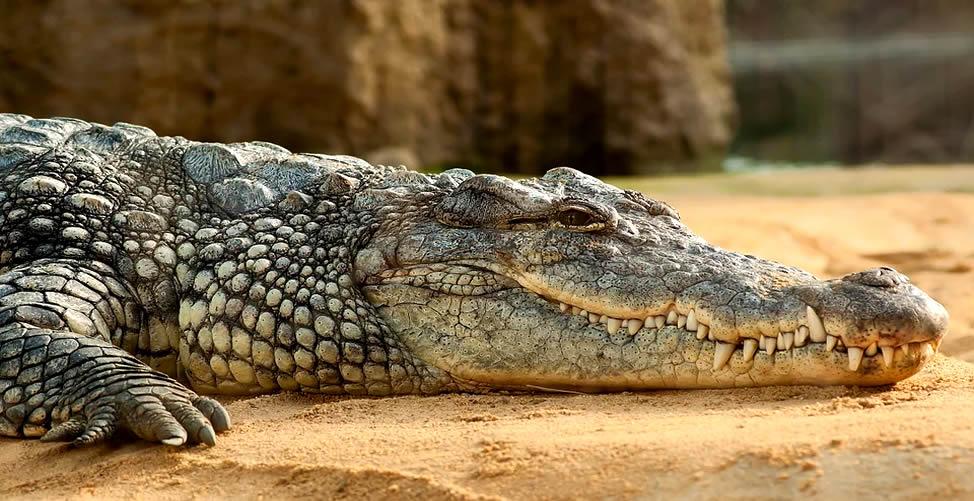 Significado de Sonhar Com Crocodilo