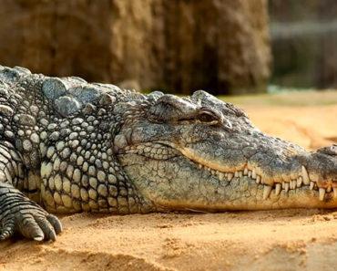 Sonhar-Com-Crocodilo