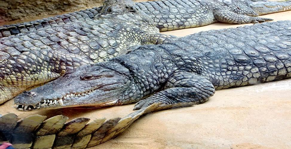 Sonhar Com Muitos Crocodilos