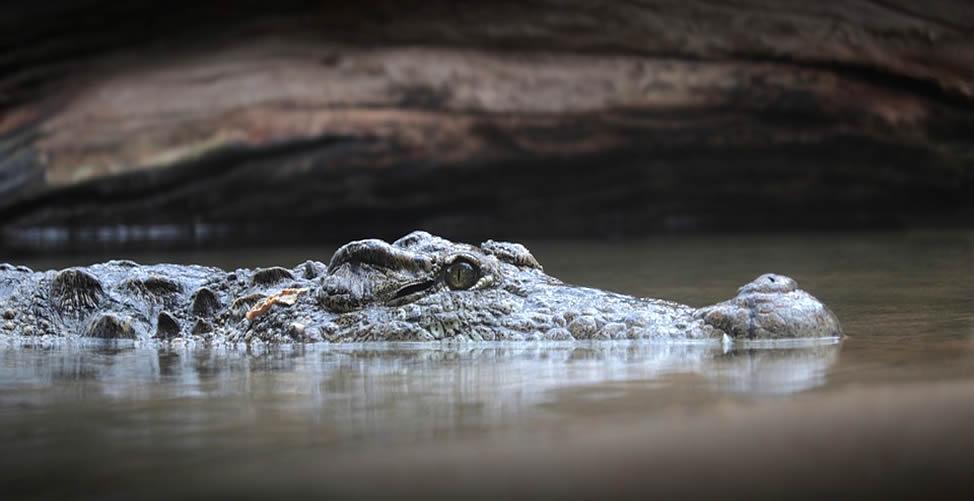 Sonhar Com Crocodilo Nadando