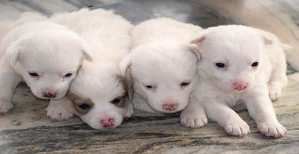 Sonhar Com Muitos Filhotes De Cachorro