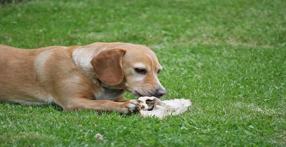 Sonhar Com Cachorro Roendo Ossos