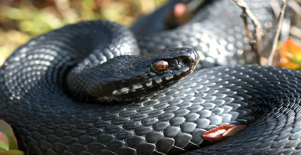 Sonhar Com Cobra Preta Picando Um Animal