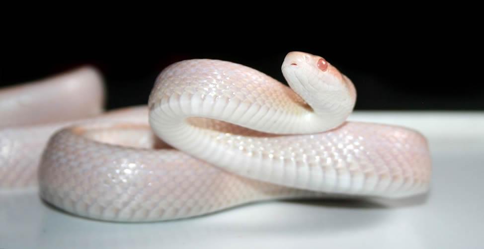 Significado de Sonhar Com Cobra Branca