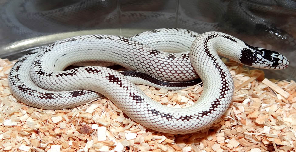 Sonhar Com Uma Cobra Branca e Preta