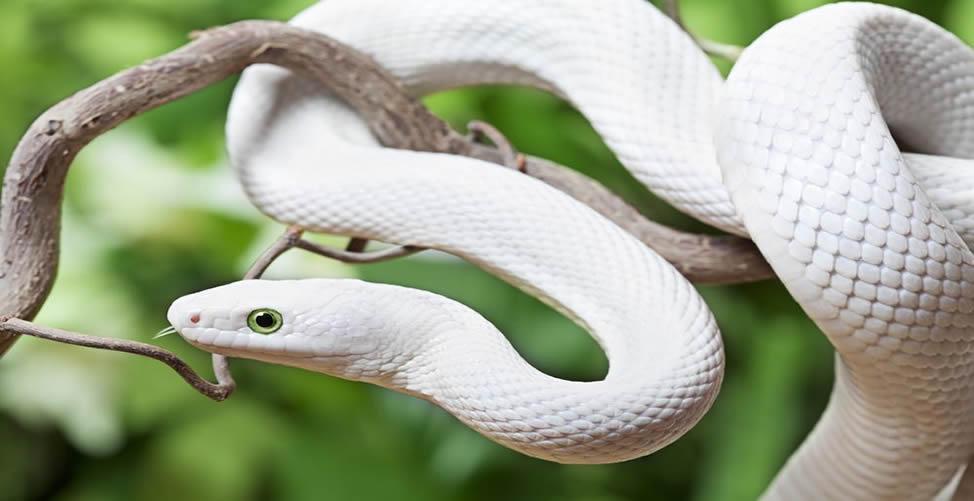Sonhar Que Foge De Uma Cobra Branca