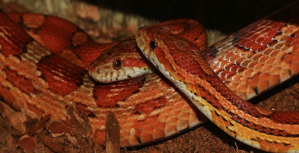 Sonhar Com Muitas Cobras Vermelhas