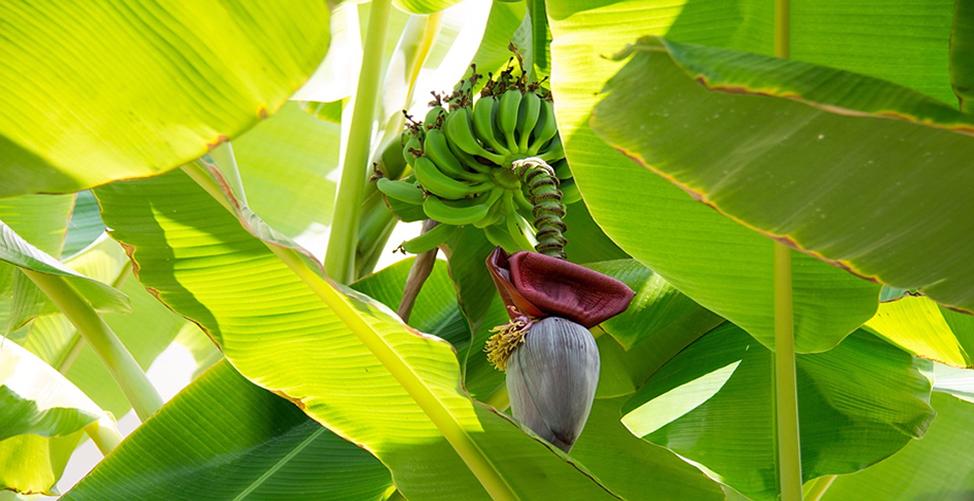 Sonhar com bananeira